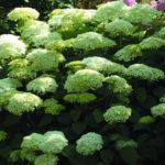 Hydrangea arborescens Lime Rickey-min