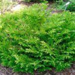 thujopsis-dolabrata-nana-1-min